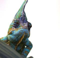 Chameleon Lizard (Annette Rumbelow) Tags: animal somerset lizard colourful wiltshire captive chameleon slowmoving longleatsafaripark changescolour annetterumbelowwilson longleatgrounds