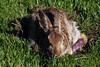 Bunny Birthing Center (17)-6x9 (Paul-W) Tags: rabbit bunny grass yard child birth mother ears 2016 givingbirth