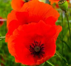 Mohn/Poppy (musti_west) Tags: flower rot nature spring outdoor sony natur poppy alpha blume 6000 flourish frhling mohn blhen