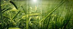 Immersed (a.sekkas) Tags: 50mm nikon d5300 nikkor50mm118g asekkas nikonflickraward unlimitedphotos field gerste barley