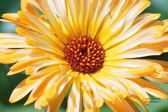 Folwer 2 (gorrarroja) Tags: espaa flower macro valencia spain flor macrophotography macrofotografa