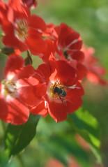 DSC_1763+ (SuzuKaze-photographie) Tags: flowers fleurs nikon lyon bokeh f2 parc swirly helios 442 helios442 d7100 suzukazephotographie