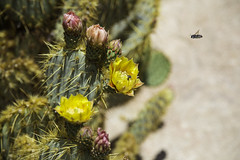 Bees at Joshua Tree (Shyha) Tags: california usa tree canon nps joshua bee