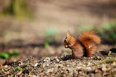 Red squirrel (Sciurus vulgaris) (generalstussner) Tags: red food nature canon eos squirrel eating wildlife 1d nut eichhrnchen vulgaris 70200mm 200mm sciurus 1dmarkiv ef70200mmf28lisiiusm