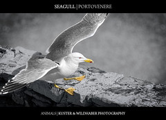 Seagull in Porto Venere
