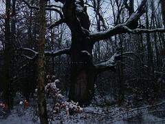 Mociar Forest (1), Transylvania, Romania (Classic Bucharest) Tags: old trees forest oak reserve fairy romania oaks transylvania forests tale enchanted centuries padurea rezervatia stejari mociar seculari