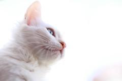 snout (deadoll) Tags: pet cats white animal cat canon fur 50mm kitten kat kittens gato 7d arya gata felino kit branca snout pur babycat sooc canon7d