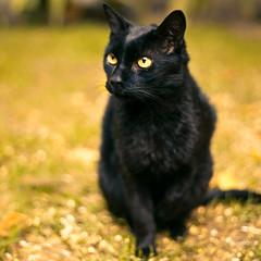 Frodo (Yiskaholina) Tags: cat feline chat jessica domestic gato felino housecat domestico morfin catnipaddicts