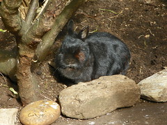 Sooty (Ambersky235) Tags: rabbit netherlanddwarfrabbit