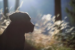 my bruno (dapalmerpeter (slow & low)) Tags: blue dog silhouette woods labrador bokeh chocolate retriever 55 bruno pancolar dapalmerpeter highqualitydogs