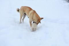 IMG_7982 (Dmitry Monakhov) Tags: dog dar heli kamchatka heliboarding камчатка дар helidog