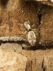 Salticidae. (Owen Llewellyn) Tags: macro london nature closeup bug insect spider fly wasp natural critter wildlife snail slug owen llewellyn martyr brixton hoverfly milfordhaven entomology smallscale hakin welshphotographer owenllewellyn taffytubby owenllewellynimaging cygnusimaging