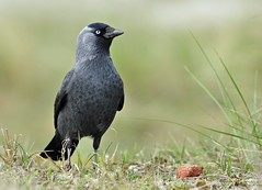 Jackdaw (Wouter's Wildlife Photography) Tags: bird wildlife gang npc jackdaw kauw corvusmonedula westduinpark avianexcellence mygearandme mygearandmepremium mygearandmebronze mygearandmesilver blinkagain dblringexcellence allofnatureswildlifelevel1 allofnatureswildlifelevel2 allofnatureswildlifelevel3 allofnatureswildlifelevel4