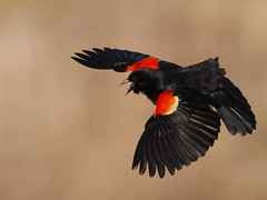 Red-wing in flight. (Shane Hesson) Tags: canon 7d f56 blackbird redwing 400mm arcolacreekestuary cccunanimous