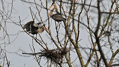 GREAT BLUE HERON IMAGES (thomassylthe) Tags: nature illinois nikon wildlife birding wetlands forestpreserve nikkor herons earlyspring talltrees greatblue bigbirds blueherons northerni