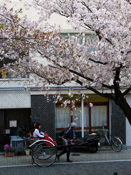 asakusa-sakura