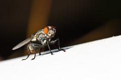 A fly's life. (KongHerr~Photographe) Tags: macro nature asian outside fly sigma bugs sigma50mmf28