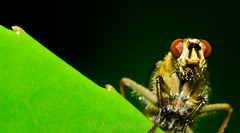 a beautiful fly(Dung fly) (asish mohanty) Tags: light shadow sunlight green eye fly leaf compound nikon natural flash sigma 250 dcr 105mm raynox d7000