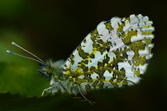 DSC07253 - Orange Tip (steve R J) Tags: orange butterfly hill tip british goldings