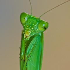 I'm so bashful (Deb Jones1) Tags: macro cute green canon bug mantis insect faces insects bugs squareformat preyingmantis flickawards debjones1