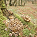 "100.-Armillaria Mellea. • <a style=""font-size:0.8em;"" href=""http://www.flickr.com/photos/63890276@N06/7163326930/"" target=""_blank"">View on Flickr</a>"