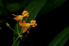 Flor laranja (Enio Branco) Tags: macro bugs insetos macroworld macromundo incects biodiversidade sonyalpha natureplus votorantim macrobrasil macromaniaanimal eniobranco serrasaofrancisco