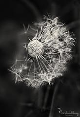 Broken. (Tracy_Bradbury) Tags: uk england blackandwhite macro clock monochrome closeup garden weeds nikon bokeh dandelion seeds depthoffield wildflower nikond3s