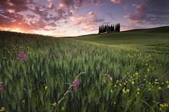 just flowers around (Susu_tD) Tags: flowers italy sunrise tuscany toscana toskana magiclight cipressi sanquirico torrenieri