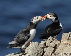 Puffin Love - Explored! (alison brown 35) Tags: sea wild nature birds june canon season scotland wildlife pair ngc 300mm npc breeding 7d puffin puffins f28 hebrides 2012 lunga behaviour fraterculaarctica treshnishisles specanimal sigmaex avianexcellence amazingwildlifephotography yahoo:yourpictures=yourbestphotoof2012