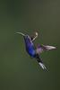 Violet Sabrewing, Campylopterus hemileucurus, Hummingbird (mikebaird) Tags: costarica hummingbird arr getty gettyimages multiflash campylopterushemileucurus violetsaberwing mikebaird basquedepaz 09may2012