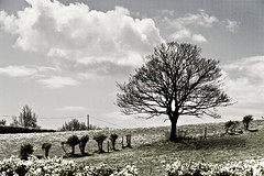 I Stand Tall (Garr8) Tags: ireland sky tree field clouds landscape countryside grain hedge 7d northernireland pseudo ulster countydown fauxinfrared johngarrett 18135mmlens canoneos7d cloughey garr8
