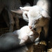 Baby Animals at Hancock Shaker Village - Pittsfield, MA - 2012, Apr - 02.jpg by sebastien.barre