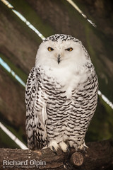 Snowy Owl (Richard Olpin LRPS) Tags: bird animal fauna flickr wildlife owl online herefordshire facebook snowyowl kington owlcentre