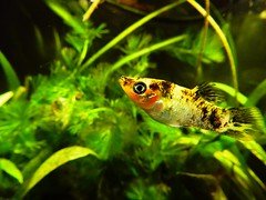 caro (Maiza Hyodo) Tags: aquarium tiger molly tigre aqurio molinsia poeciliidae
