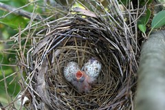 DAY 1 MAY 18  babY CARDINAL  18 (Carolynmue) Tags: birds babies nest cardinal eggs babybird hatchling ofallonmo may2012