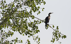 Cormorant (Panayotis1) Tags: nature birds canon aves greece cormorant animalia phalacrocoraxcarbo pelecaniformes chordata phalacrocoracidae  canonef400mmf56lusm imathia    66 tafros66 kenkopro300afdgx14x