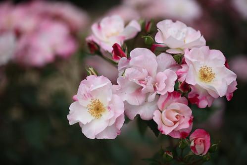 Rose-Hanagasumi