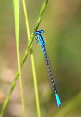 Male Skimming Bluet_278.NEF (Henryr10) Tags: dragonflies dragonfly libelle damselfly libélula libellule libellula odonata bluet drekafluga enallagmageminatum skimmingbluet