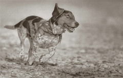 Rodgy - Palladium toned Kallitype (Zach Boumeester) Tags: dog digital print nikon alt arches scan 300mm negative epson nikkor process toned palladium f28 alternative 2200 afi ohp toner altprocess kallitype platine pictorico d300s