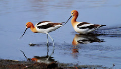 American Avocet (prairiedog (in and out)) Tags: canada bird nature fauna spring pond wildlife manitoba marsh prairie waterfowl nationalgeographic americanavocet oakhammockmarsh shorebird avocet supershot specanimal avianexcellence birdperfect blinkagain bestofblinkwinners