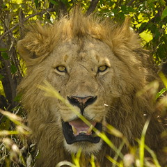 Male lion (NewbyGaronga) Tags: kenya lion panasonic bigcat masaimara africanwildlife marshpride