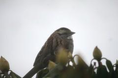 Time for a Song (eyriel) Tags: winter snow macro bird nature bush wildlife sparrow