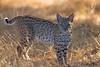 BOBCAT 2011 (sea25bill) Tags: california morning summer sun animal cat mammal feline bright wildlife bobcat lynxrufus 2011