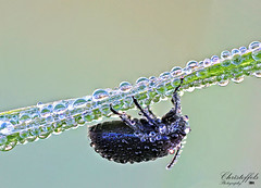 My first focus stack. (Fred Christoffels) Tags: nature canon insect dewdrops drops outdoor natuur sigma insects dew waterdrops manfrotto insecten focusstacking canon60d sigma70mmf28exdgmacro manfrotto454microslidingplate