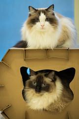 Zoe and Emmie (shan.yew) Tags: cat zoe chat kitty gato neko katze emmie gatto pussycat ragdoll sealpoint bicolour