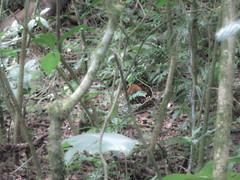 """La Réserve de Monteverde: un agouti <a style=""""margin-left:10px; font-size:0.8em;"""" href=""""http://www.flickr.com/photos/127723101@N04/26671922760/"""" target=""""_blank"""">@flickr</a>"""