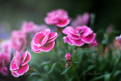 - (-LilyBeth) Tags: pink flowers green nature colors outside nikon dof bokeh natura depthoffield wonderfulworld d3000