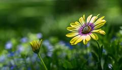 _MG_0256 (918monty) Tags: flowers dallas texas africandaisy dallasarboretum trialgardens daisylike madaboutflowers