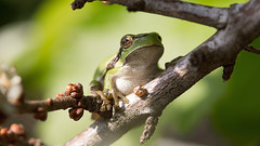 Green tree frog (Alex Verweij) Tags: tree eye feet alex canon gold eyes groen close 100mm frog climbing 5d ogen gree treefrog awd oog kikker klimmen f40 100iso vogelperspectief boomkikker zuignapjes verweij zuignap alexverweij