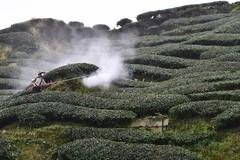 Farmer pesticiding tea garden (stevenpng) Tags: taiwan teagarden teaplantation nantou  d810   nikoncapturenx2 nikongp1  nikkor1635mmf4gvr baguateagarden baquateagarden